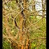 Dawn Redwood (Metasequoia glyptostroboides-1941-China-SF Botanical