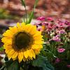 Sunflower SFBotanical 10-1-08