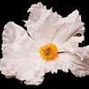 :Poppy SFBotanical 6-10-09