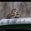 Backyard-White-crowned Sparrow-juvenile with adult