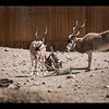 Addax Antelope-most adapted to the desert