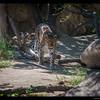 Amur Leopard (no spot in the rosette)