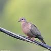 Eared Dove 6-21-12-Tobago