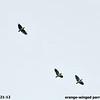 Oranged-winged Parrot 6-21-12 Tobago