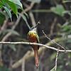 Rufous-tailed Jacamar Tobago 6-21-12