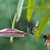 White-tailed Sabrewing & Ruby Topaz-Tobago 6-21-12