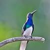 White-necked Jacobin 6-21-12 Tobago