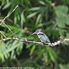 Green Kingfisher 6-21-12 Tobago