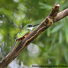 Rufous-tailed Jacamar-6-21-12 Tobago