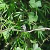 Green Kingfisher-Tobago 6-21-12