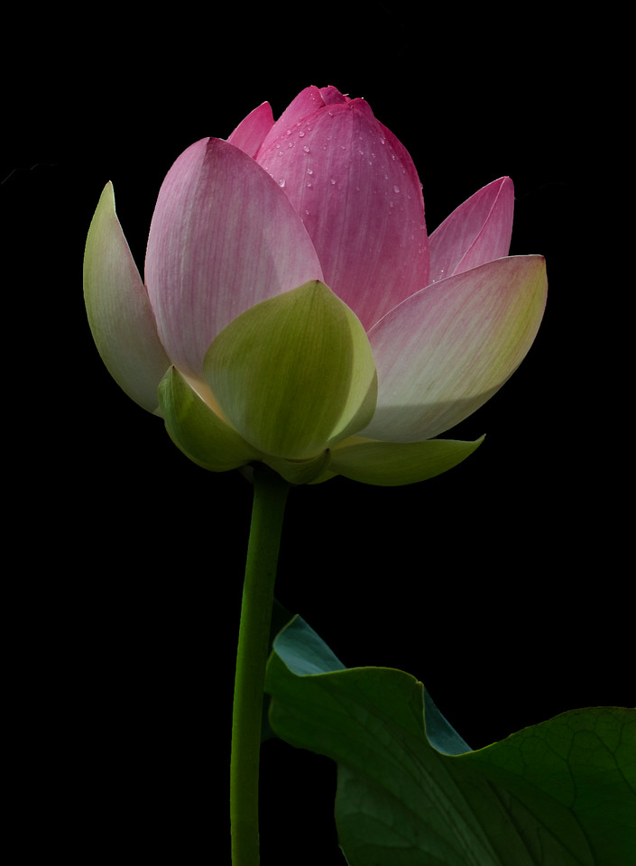 "Summer Blog:    I recently had the opportunity to photograph lotus flowers.  The lotus has always been a dream flower.  When people at at my speaking engagements what flower I'd most like to photograph, the answer is always the same:  Padma, ""lotus"".  These flowers are mysterious.  They give off a vibration that is magnificent and can be felt hours later during processing.  I've included two for you at the bottom of the page  They are set apart by beautiful petals that give way to a spectacular center.  Recently I was reflecting introspectively and below is what I wrote  I hope you step through your fear and find joy.  Bite back on the brief sadness you feel and go forward:  <br> <br>  *** There is a magical vibration in this and in these flowers. There has been some fantastic energy on my journey lately and I feel like paths are ending and beginning all at once. My step feels solid, yet able to move with the formlessness of the future. You leave your past experiences behind, but you glean from them what you need to step forward. You step...without knowing. You stand...without fear. You embrace when it is unsure, dark and imperfect.**       Padma: (Lotus)  :  Rise above the murk and achieve  enlightenment.  These flowers have a natural vibration.   Step forward on your path--step, even if you step through fear."