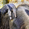 1-25-11-Giant Anteater posted on Zooborn
