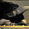 1-24-11 Giant Anteater