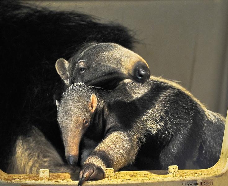 Anteater 11-24-11