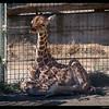 6 days old baby boy giraffe