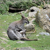 Red neck Wallaby 3-19-16 months old-FB