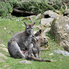 Red neck Wallaby (young marsupial) 6 months old 3-19-12