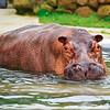 Nile Hippo (Brian Wilson)1-29-11