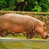 Nile Hippo-love those little feet 1-29-11