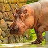 1-29-11 Nile hippo