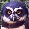 11-2-10 Spectacled Owl