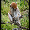 Year old Patas Monkey