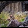 Inti-Bobcat born 5-11-02
