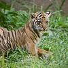 Sumatran cub born 3-6-08 sfzoo: Photo taken 4-24-08