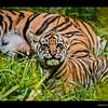 4-24-08 one and half month Sumatran Tiger cub