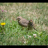 Brown-headed Cowbird & White crown Sparrow