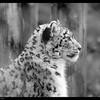 Female Snow Leopard with a heart near the eye