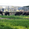 12-10-11 7 new female Bison at GGPark