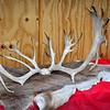 Reindeer Antler 11-17-12