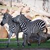 Grant Zebra 12-24-09
