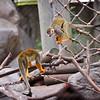 1-4-12 Squirrel Monkey