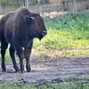 Bison  GGPark 12-10-11