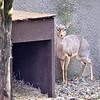 Kirk's dik-dik 12-14-11-Very shy small antelope