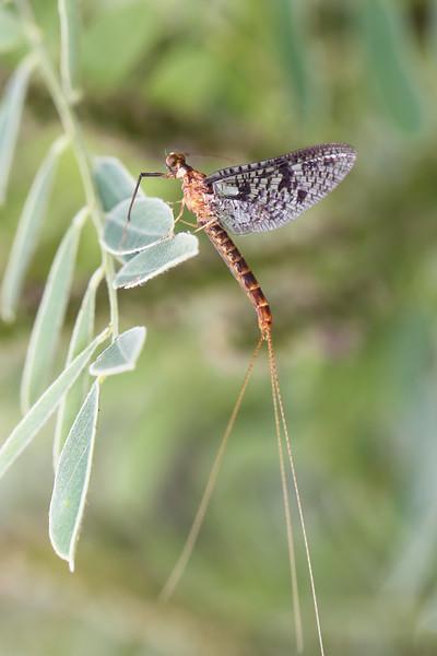 Unidentified Mayfly (Ephemeroptera)