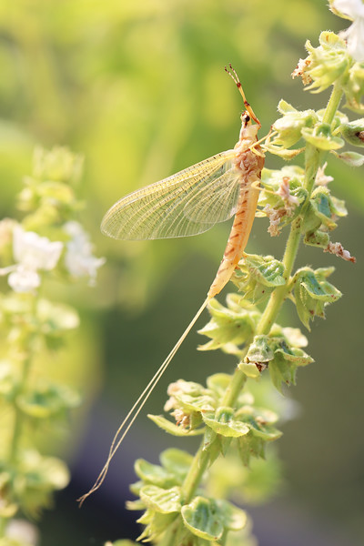 Mayfly (Ephemeroptera)