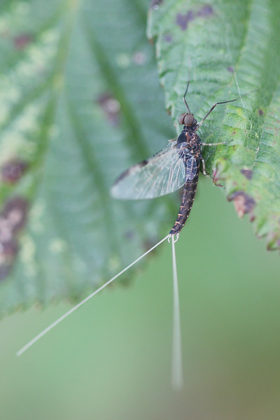 Unidentified Mayfly (Ephemeroptera)