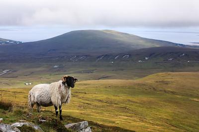 Sheep at Minaun-1L8A1479