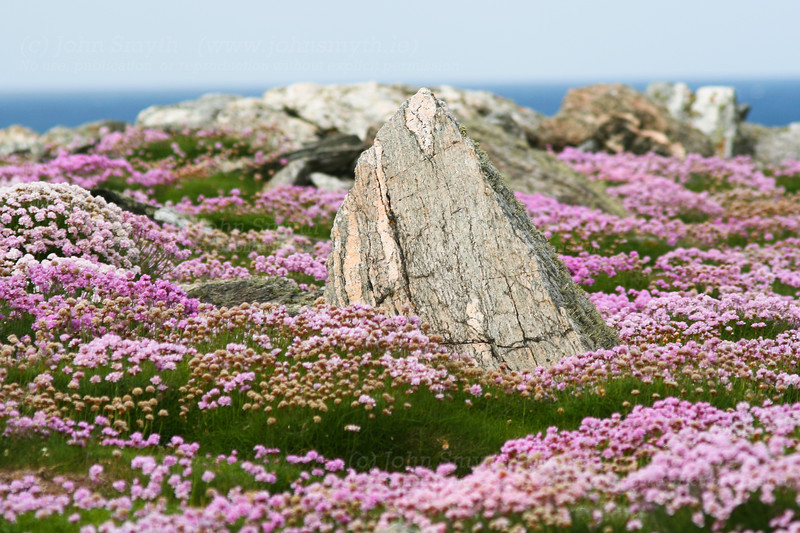 A boulder of gneiss juts from a carpet of pink thrift flowers near the shoreline at Annagh, on the Mullet peninsula in Co. May,. Ireland. The rock on the Mullet peninsula is among the oldest in Ireland - just over 1.7 billion years old.
