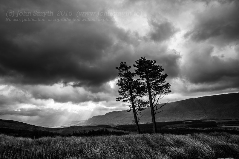 Windswept trees in Connemara