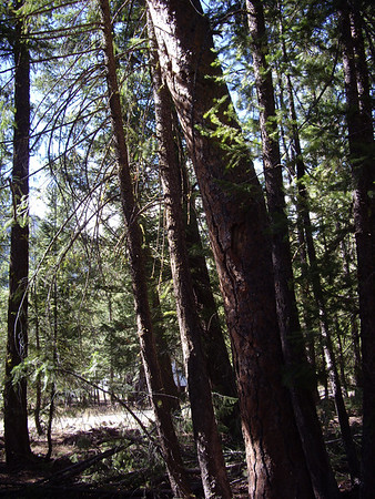 Day 1: huge Ponderosa Pine that's going to fall soon.  I'll probably need a tree service for this one.