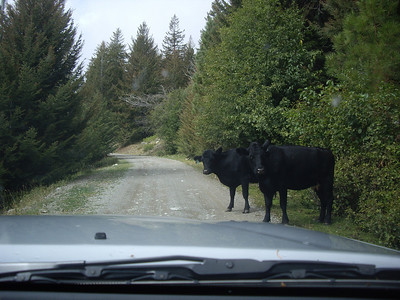 Cows on the way up to the Goat Peak Lookout trail.