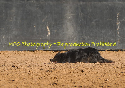 McCormick Cattle Dogs
