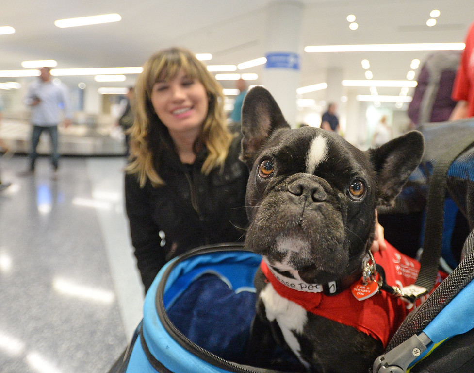 . Pets Unstressing Passengers travelled through terminals at LAX to help relieve travelers\' stress Sunday, May 14, 2017, Los Angeles.  Serjio, a French Bulldog owned by Tiffany Butcher, draws attention from in the baggage claim area. (Photo by Steve McCrank, Daily Breeze/SCNG)