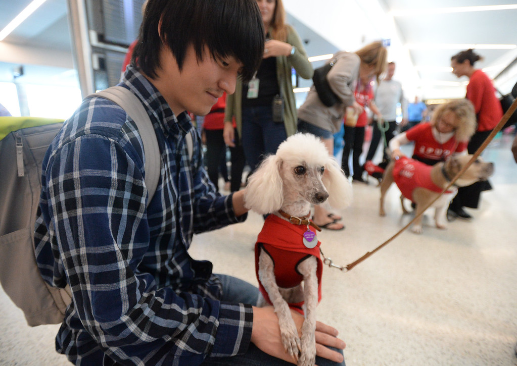 . Pets Unstressing Passengers travelled through terminals at LAX to help relieve travelers\' stress Sunday, May 14, 2017, Los Angeles.   Little Bit, a poodle owned by Aiesha Colvin, shows her loving personality to people passing by in Terminal 1. (Photo by Steve McCrank, Daily Breeze/SCNG)