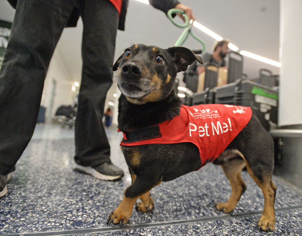 . Pets Unstressing Passengers travelled through terminals at LAX to help relieve travelers\' stress Sunday, May 14, 2017, Los Angeles.   Arthur, owned by Marilyn Frandsen, investigates the camera. (Photo by Steve McCrank, Daily Breeze/SCNG)