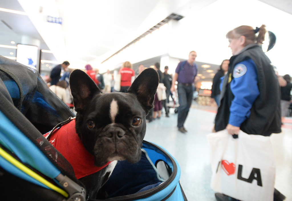 . Pets Unstressing Passengers travelled through terminals at LAX to help relieve travelers\' stress Sunday, May 14, 2017, Los Angeles.  Serjio, a French Bulldog owned by Tiffany Butcher, rides in a stroller through Terminal 1. (Photo by Steve McCrank, Daily Breeze/SCNG)